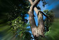 GERMANY, Plau, forest / DEUTSCHLAND, Plau, Wald, alte Kiefer, Baumdenkmal