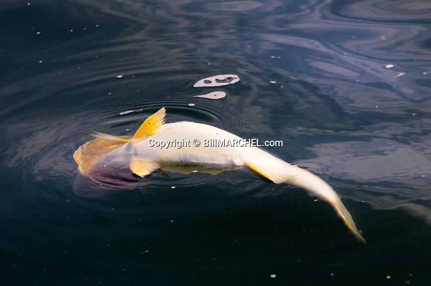01250-009.04 Walleye: Walleye in the 28 inch range is floating dead on Mille Lacs Lake.  Likely did from release mortality.