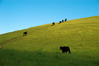 Cross bred Angus beef cows walk up a hill through lush pasture on a California ranch set in the foothills of the Coastal Mountain Range..