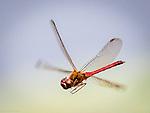 Dragonfly study.