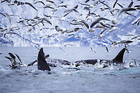 Killer whale, Orcinus orca, pair surfacing amidst gull flock during carousel feeding event, Tysfjord, Arctic Norway, North Atlantic