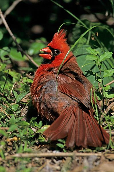 Northern Cardinal, Cardinalis cardinalis, male sunbathing, High Island, Texas, USA, April 2001