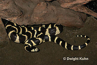 1R22-506z  California Kingsnake, Lampropeltis getulus californiae