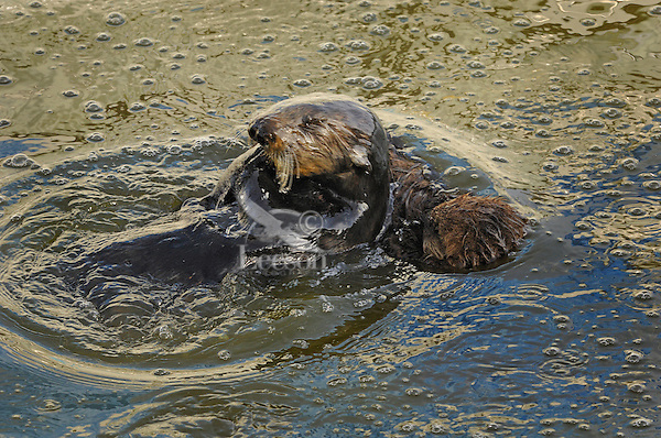 Sea Otter (Enhydra lutris) mom grooming while pup sleeps.  Bubbles are from when she rolls underwater and blows air into her fur.  This layer of trapped air provides an insulating bubble barrier to the cold water, as well as, provides buoyancy.