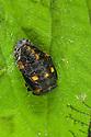 Seven-spot Ladybird pupa {Coccinella 7-punctata} Nottinghamshire, UK. May.