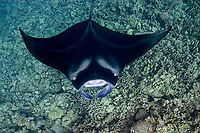 reef manta ray, Manta alfredi, Keahole Point, Kona, Big Island, Hawaii, USA, Pacific Ocean