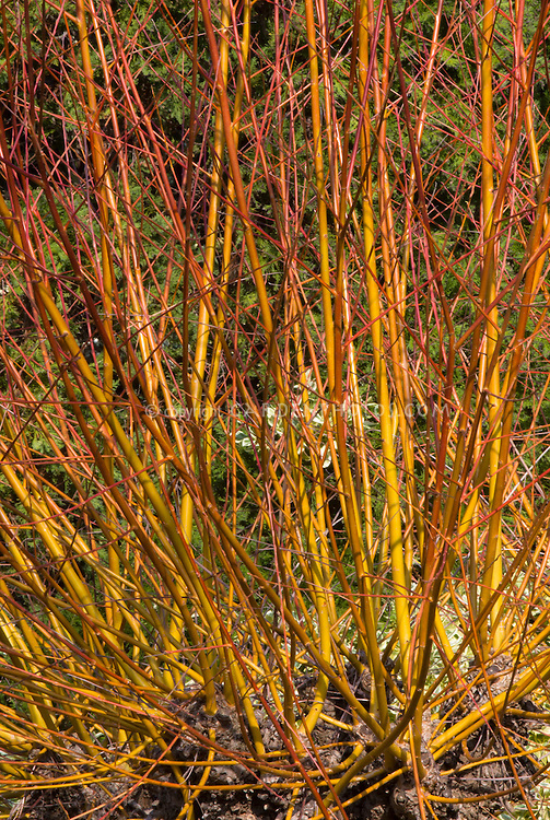 Salix alba var. vitellina 'Britzensis' in winter interest stems, yellow orange color bark