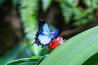 Ulysses Butterfly attending to flower