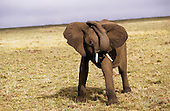 Maasai Mara, Kenya. Baby elephant (Loxodonta africana) in the savannah.