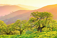 Spring oak trees at sunset. California Valley Oak, Quercus lobata. California rolling hills - Mt Burdell State Park