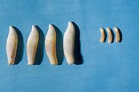 common bottlenose dolphin, Tursiops truncatus, teeth (left), and vaquita,Phocoena sinus, teeth (right), Smithsonian Museum