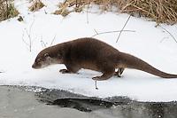 Europäischer Fischotter, markiert sein revier, Markirung, Territorium, Reviermarkierung, Fisch-Otter, Otter, Weibchen im Winter bei Schnee und Eis, Lutra lutra, river otter, European otter, female