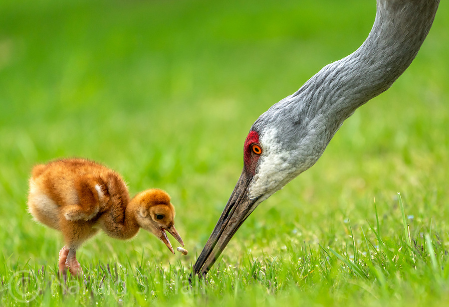 A mother Sandhill Crane pecks the grass for grubs and feeds this delicacy to her young chick.  Actually, the name of a young sandhill crane is a colt.