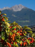 Kornelkirsche (Cornus mas), Dorf Algund bei Meran, Region Südtirol-Bozen, Italien, Europa<br /> European Cornel (Cornus mas),  Lagundo village near Merano, Region South Tyrol-Bolzano, Italy, Europe
