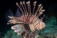 red lionfish or common lionfish, Pterois volitans, Raja Ampat Islands, West Papua, Indonesia, Indo-Pacific Ocean