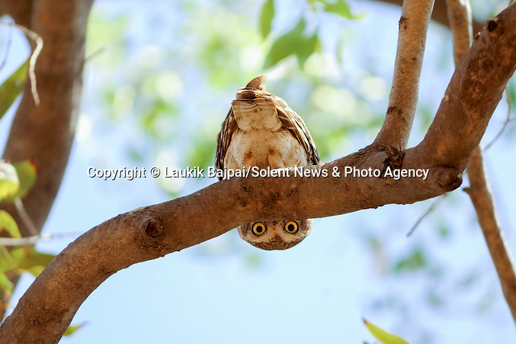 "MAIN IMAGE:  PEAK-T-WOO...... A spotted owlet pears down from under a tree branch and gives a watching photographer a curious glare.<br /> <br /> The unusal image was captured along the banks of the Rancharda lake near Ahmedabad, India by marketing and sales manager Laukik Bajpai, 29.<br /> <br /> Laukik said, ""It was a bit like hide and seek.  The owlet was trying to take cover behind some branches while watching my movements and probably wondered why I was so close to the nest.""<br /> <br /> ""The spotted owlet is a small owl which breeds in tropical Asia from mainland India to Southeast Asia. They are a common resident of open habitats and have adapted to living in cities.  They roost in small groups in the hollows of trees or in cavities in rocks or building and nests in a hole in a tree or building, laying 3–5 eggs.""<br /> <br /> ""It's rare for them to hang upside down and it was a very unique moment - I had waited for two hours in the same spot to make sure I wouldn't frighten him.""<br /> <br /> Please byline: Laukik Bajpai/Solent News<br /> <br /> © Laukik Bajpai/Solent News & Photo Agency<br /> UK +44 (0) 2380 458800"