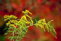 Goldenrod flower blooming with euonymous, firebush, in fall color behind, Vermont