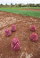 Onions are an important crop in the Lake Eyasi region of northern Tanzania.