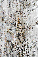 """""""WINTER WILLOW""""<br /> <br /> <br /> <br /> <br /> <br /> <br /> <br /> <br /> <br /> A willow tree in winter during a hoar frost. This particular willow I found keeping watch in a cemetery adding to the haunting nature of the photo"""