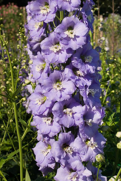 Delphinium 'Centurion Lavender'