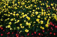 Yellow Calla Lily.