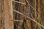 Northern spotted owl, Mount Rainier National Park, Washington
