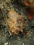Halgerda batangus nudibranch, Bali, Indonesia 2018
