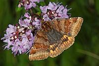 Braune Tageule, Euclidia glyphica, Phalaena glyphica, burnet companion moth, la Doublure jaune, Eulenfalter, Noctuidae, noctuid moths, noctuid moth