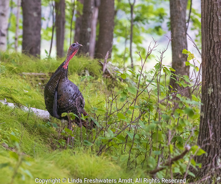 Tom turkey preparing to roost in a northern Wisconsin woodland.