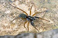 Wolfspinne, Wolfsspinne, Männchen, Aulonia albimana