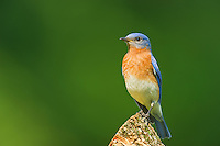 This images of a pearched Eastern Bluebird was taken in Alma Illinois in June, 2011.