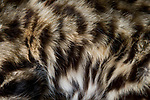 Black-footed Cat (Felis nigripes) male fur during collaring, Benfontein Nature Reserve, South Africa