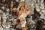 Leaf-tailed gecko, Madagascar