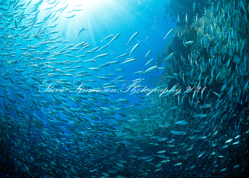 School of silversides and light streaming through clear Caribbean water.