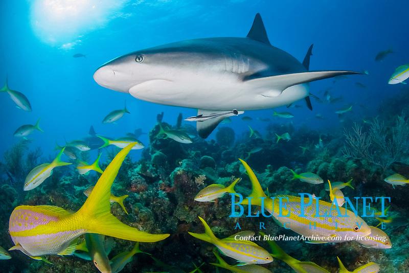 Caribbean reef shark, Carcharhinus perezii, with yellowtail snappers, Ocyurus chrysurus, Bahamas, Caribbean Sea, Atlantic Ocean