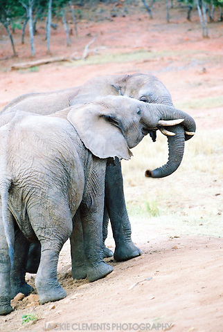 A pair of elephants greet each other by twisting their trunks together
