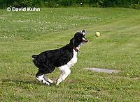0808-0815  English Springer Spaniel Catching a Tennis Ball, Canis lupus familiaris © David Kuhn/Dwight Kuhn Photography.