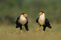 Crested Caracara, Caracara plancus, pair, Starr County, Rio Grande Valley, Texas, USA