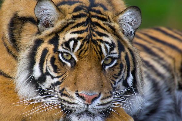 Sumatran Tiger (Panthera tigris).(Point Defiance Zoo & Aquarium, Tacoma, WA)