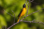 Baltimore oriole reaching for a spider on the shoreline of a northern Wisconsin lake.