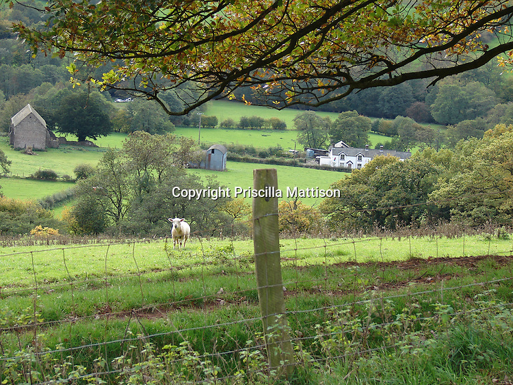 Llanthony, Wales - November 2, 2006:  A sheep watches from a fenced meadow in the Welsh hills.