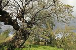T-129 Mount Tabor Oak in Alon Tavor