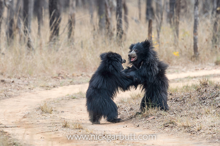 Young sloth bears (Melursus ursinus) play fighting. Satpura National Park, India