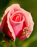 Shield Bug on Rose, Red-Cross Shield Bug, Elasmostethus cruciatus, Acanthosomatidae, Southern California