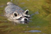 """Waschbär, etwa 4 Monate altes Jungtier im Wasser schwimmend, Tierkind, Tierbaby, Tierbabies, Männchen, Rüde, Waschbaer, Wasch-Bär, Procyon lotor, Raccoon, Raton laveur, """"Frodo"""""""