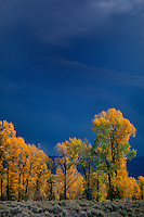 749450403 golden colored narrowleaf cottonwoods populus angustifolia during an autumn storm in grand tetons national park wyoming