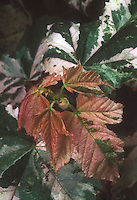 Acer pseudoplatanus 'Eskimo Sunset' maple tree variegated foliage leaves
