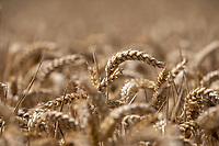 Wheat in ear ready for harvest - Lincolnshire, August