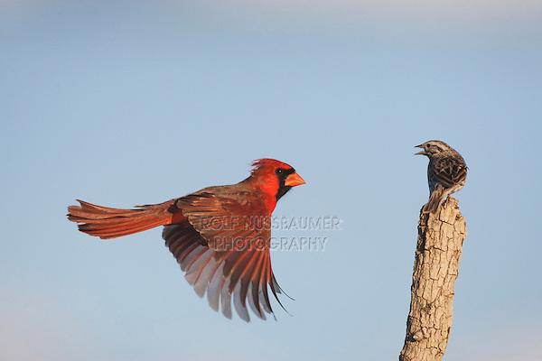 Northern Cardinal (Cardinalis cardinalis) and Savannah Sparrow (Passerculus sandwichensis), male landing, Sinton, Corpus Christi, Coastal Bend, Texas, USA
