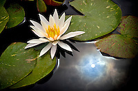 Water lily with sun reflection. Hughes Water Garden, Oregon